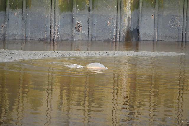 Een SKP karper die zich op ondiep water bevindt op zoek naar voedsel tijdens eb.