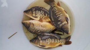 Special-carp opgegroeid in poldersloten