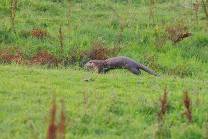 Bijplaatsing otters - Foto: Karsten Reiniers ARK Natuurontwikkeling