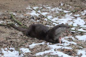 Otter met blankvoorn