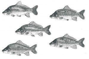 Rijenkarpers van het Genotype SSNn of Ssnn. Uit Kirpichnikov V.S. (1981) Genetic Basis of fish Selection