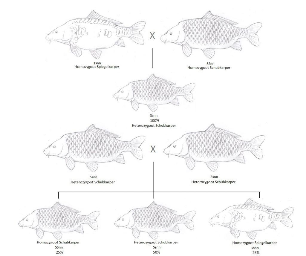 Kruisingschema - Illustraties Robert Paul Naeff