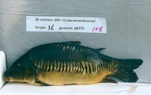 Een 2001-rijenkarper met een kenmerkende rugvin.