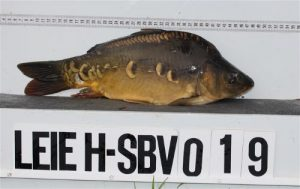 Type Bynens-2015 uitgezet op de rivier de Leie