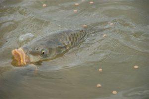 De vis die opviel door zijn grenzeloze vraatzucht