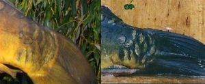 Staartwortel van een Valkenswaarder twintig jaar na plankfoto (rechts)