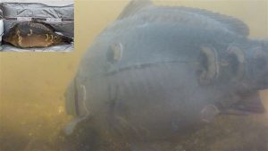 Vitale Special Carp (met klein beetje Valkenswaardbloed) voor de onderwatercamera. Ook deze 'meldingen' tellen mee voor het tmp! (opname: Boudewijn Margadant)
